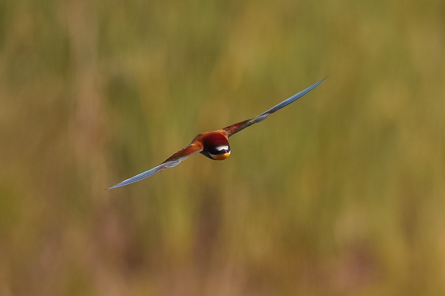 Bee eater 2 3