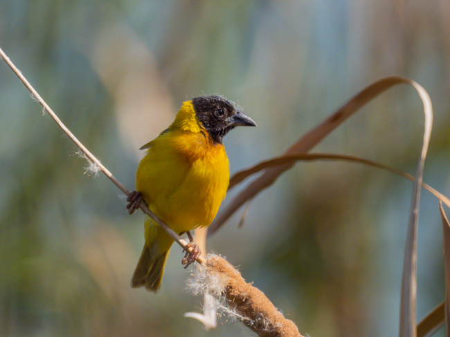 Black headed Weaver Ploceus melanocephalus 9140142
