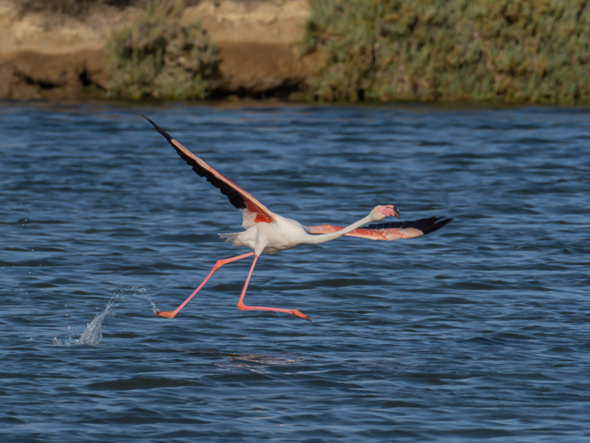 Greater Flamingo Phoenicopterus roseus 9140074