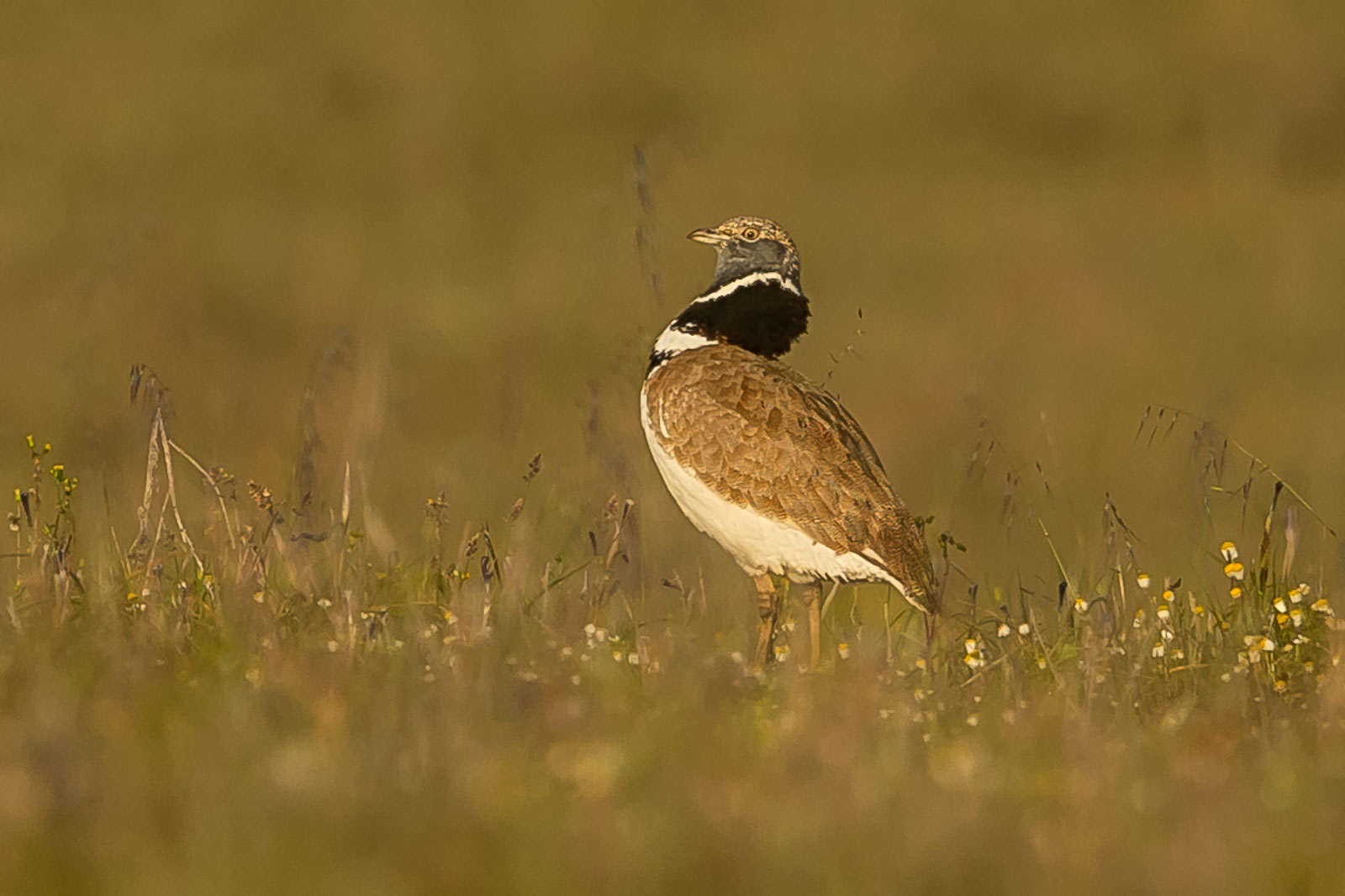 Little Bustard-5747.jpg