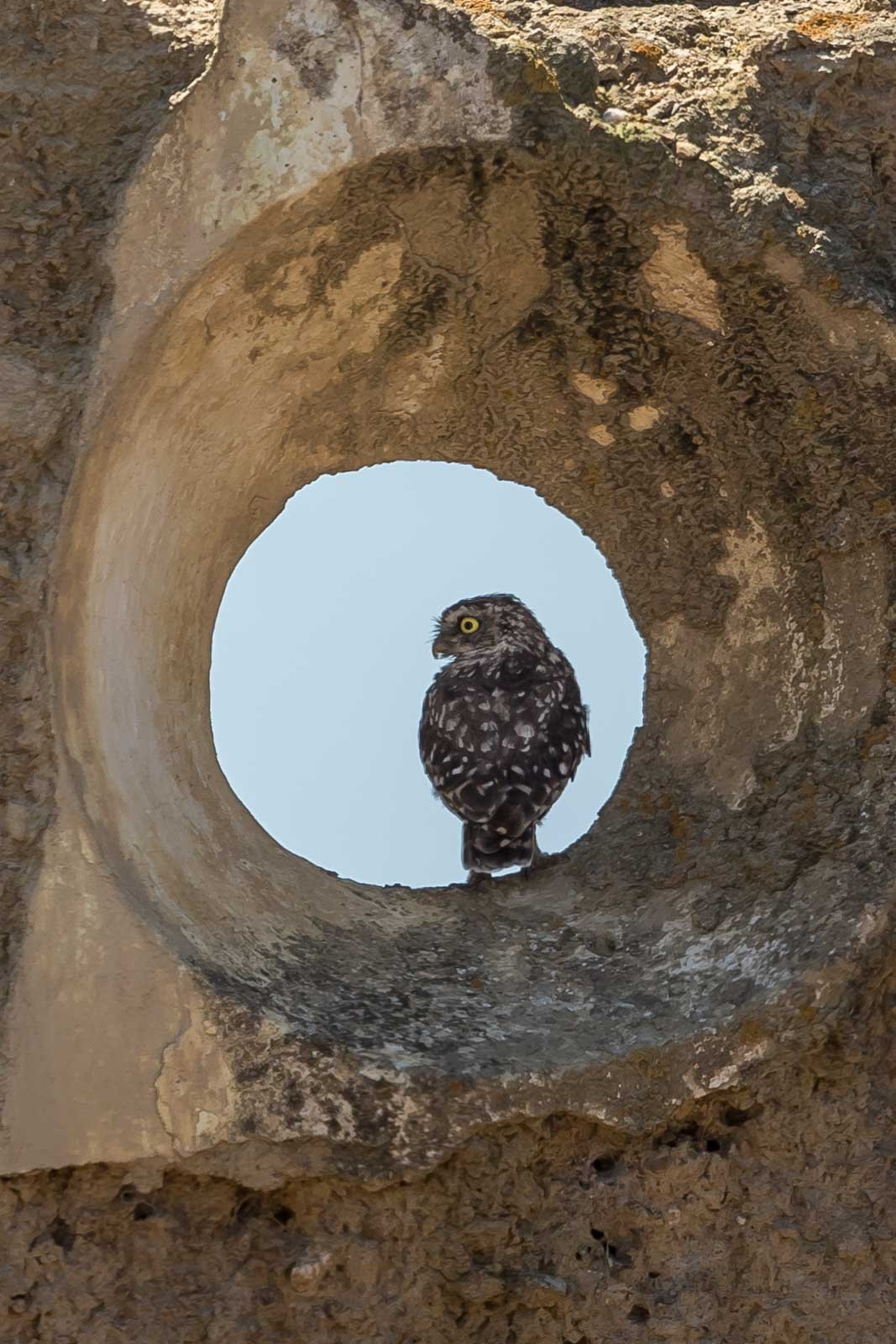 Little Owl-2.jpg