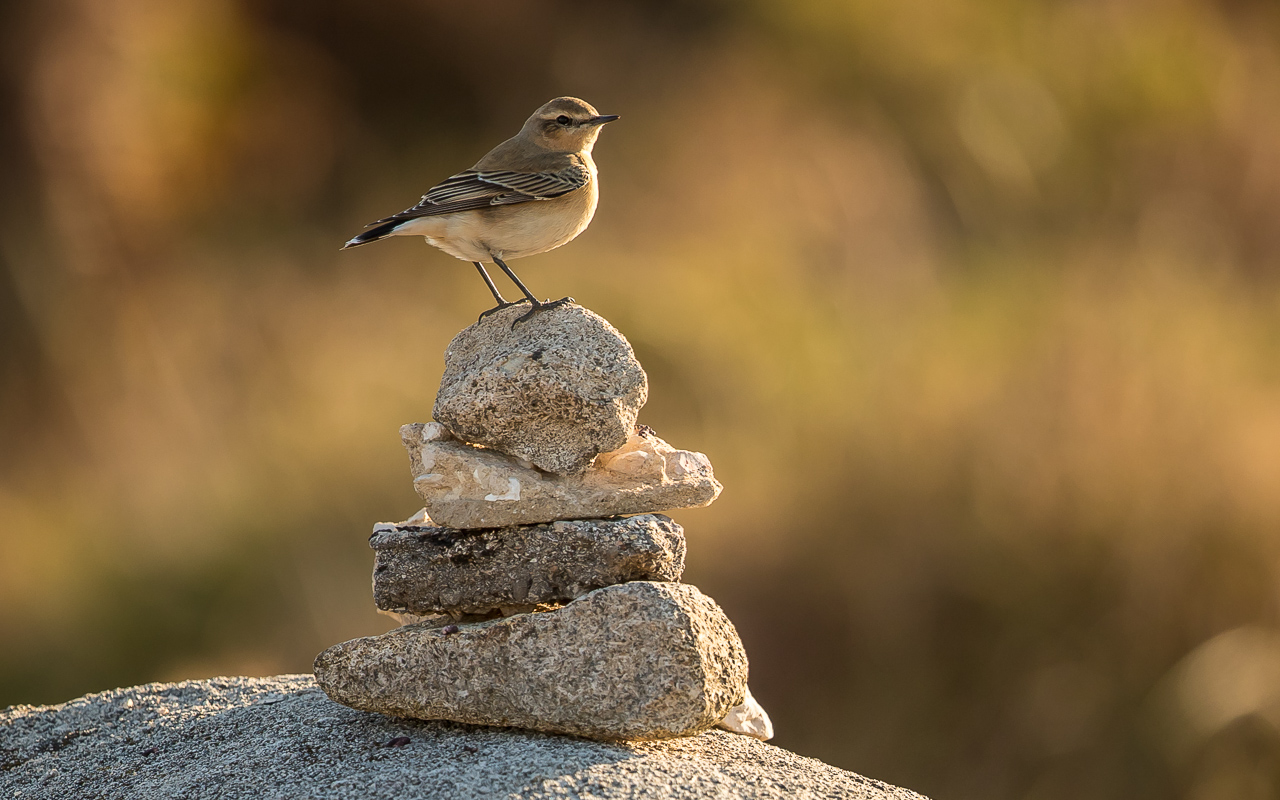 Northern Wheatear B69I2415