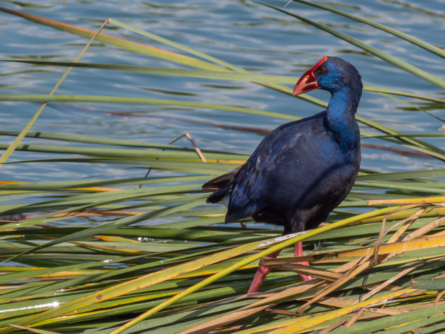 Purple Swamphen Porphyrio porphyrio 9140162