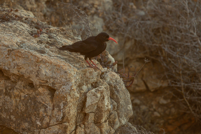 Red billed Chough Pyrrhocorax pyrrhocorax 9711